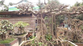 Cây vua chúa chơi, giá cả thì bình dân - precious and rare bonsai trees