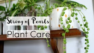 7 Tips to Take Care of A String Of Pearls Houseplant | String of Pearls Care Guide