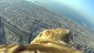 Bird's eye view: Eagle sets record diving from Burj Khalif..
