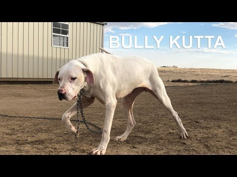 BULLY KUTTAS ARE COMING TO DOGUMENTARY TV