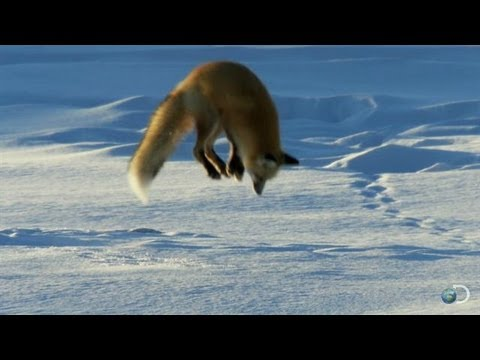 שועל צד עכברים מתחת לשלג
