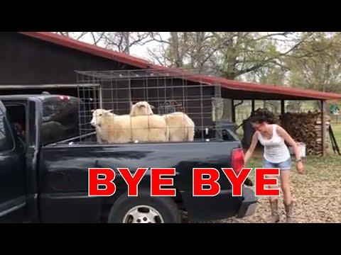 BYE BYE WHITE SHEEP