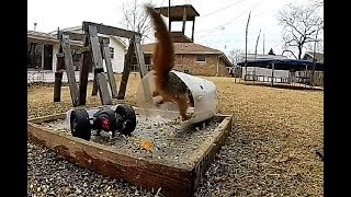 Squirrel vs Giant 2 Wheel RC Bumble Bee - Craziest Yet - New Bright Tumblebee