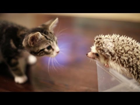 Kitten Meets Hedgehog