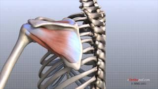 Shoulder Anatomy Animated Tutorial