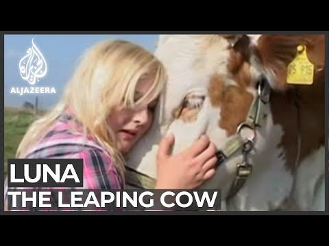 Девушка-подросток оседлала корову