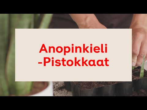 Anopinkieli: Pistokkaat – helppoja vinkkejä ruukkukasvien lisäämiseen