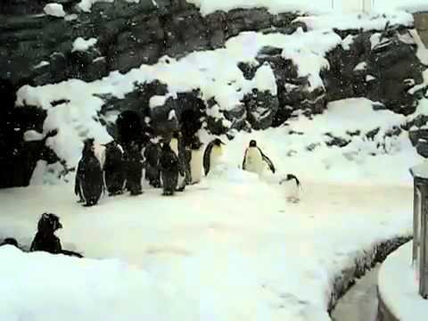 Pingwinek buntownik - kocha heavy metal!
