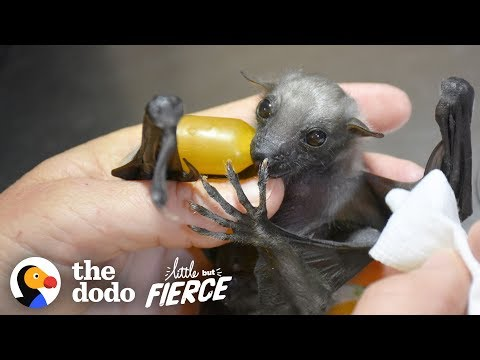 Watch This Tiny, Fuzzy Bat Grow Up to Be a Muscleman | The Dodo Little But Fierce