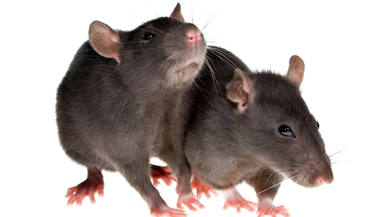 how to socialize a rat pet rats youtube. Black Bedroom Furniture Sets. Home Design Ideas