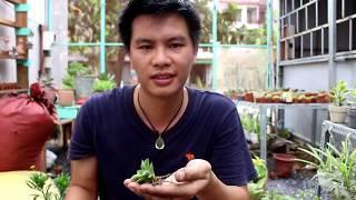 Cách trồng sen đá: Chi tiết về đất trồng và phân bón