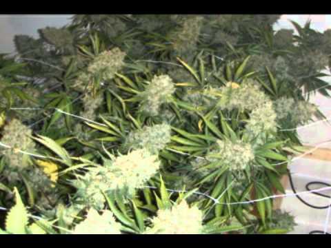 Building A 5 Plants Legal Medical Marijuana Grow Room