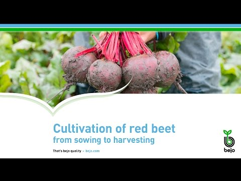 Bejo - Cultivation of red beet