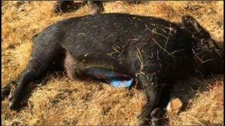 Cặp vợ chồng săn được con lợn rừng đen lớn, mổ ra thấy 'cảnh lạ' khiến họ rụng rời tay chân