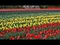 Asia's largest tulip garden in Srinagar opens for tourists
