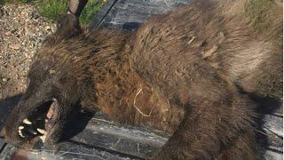 Wolf-dog, direwolf or dogman? Mysterious wolf-like creature shot in Montana