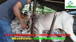 How to Inject to cow well / របៀបចាក់ព្យាបាលគោមានជំងឺរាក