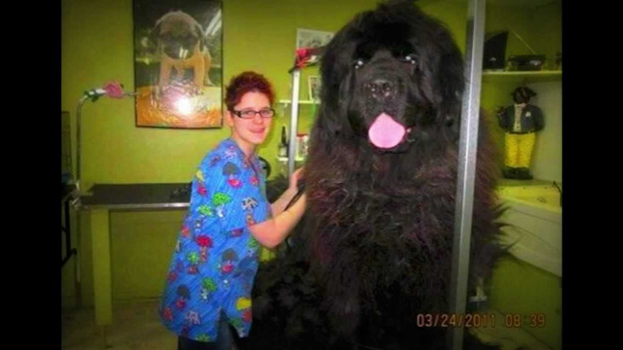 Ripley S Believe It Or Not Huge Newfoundland Dog For