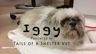 Iggy - Emergency Dog Grooming - Unable to Defecate