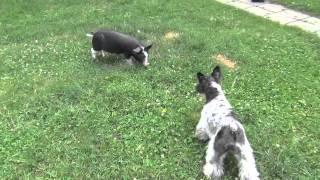 Jack notre BB chien s'amuse avec les cochons