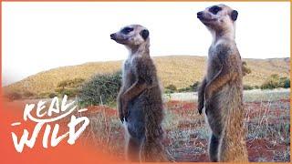Meerkat Wars [Episode 2 of Kalahari Meerkats] | Wild Things