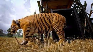 GoPro: Let the Tiger Go