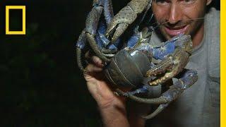 Luring in the Coconut Crab | Primal Survivor