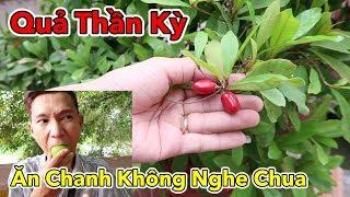 Miracle fruit - Sau Khi Ăn Quả Này Bạn Sẽ Trở Thành Trùm Ăn Chua | Trái Thần Kỳ - Lâm Vlog