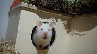 Syrian Hamster Exploring New Setup