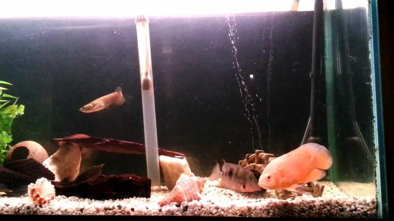 Arowana and Tiger Oscars Tank Mates - YouTube