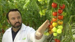تكنولوجيا إماراتية لزرع الطماطم في المناطق الصحراوية ...
