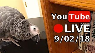 🔴🐦Einstein Parrot LIVE! 9/2/18 Tour of Jeff's Office and a lot to say!