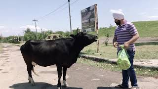 Feeding ककड़ी to the lovely Cow and Cute Calf