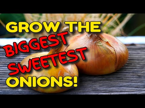 💥 GROW THE BIGGEST SWEETEST ONIONS YOU'VE EVER TASTED 🌱 IT'S EASY! 👍