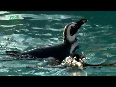 Tučňáci v Zoo Ústí nad Labem