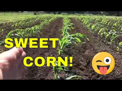 Fertilizing Corn With the HOSS WHEEL HOE
