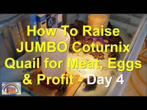 How To Raise Coturnix Quail For Meat and Eggs - Day 4