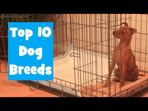 Top 10 Dog Breeds using the Potty Training Puppy Apartment - Can you guess the #1 Dog Breed?