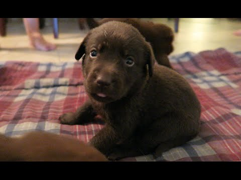 CHOCOLATE LAB PUPPIES!!