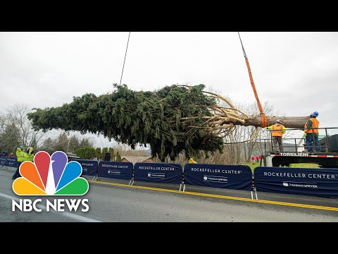 Rockefeller Center Christmas Tree Cut In Upstate New York Ahead Of Manhattan Debut | NBC News NOW