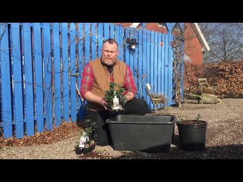 Plantera förgrodda potatis för godare skörd