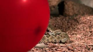 ガラガラヘビ4