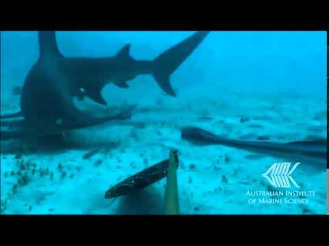 Footage captured from baited remote underwater video surveys (BRUVS)