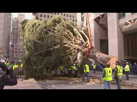 Rockefeller Center Christmas Tree Lifted Into Place By Crane