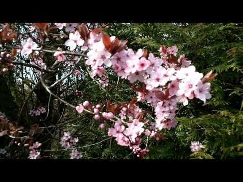 Prunus cerasifera 'Nigra' Tree