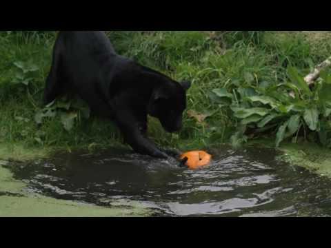 Black jaguar Goshi goes bobbing for pumpkins at Chester Zoo