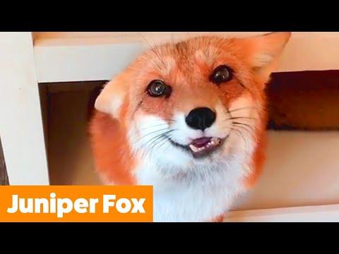 Best of Juniper Fox | Funny Pet Videos