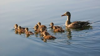 Ducks Are Quaking Feeling Happy During Swimming||Ducks Are Diving In The Water
