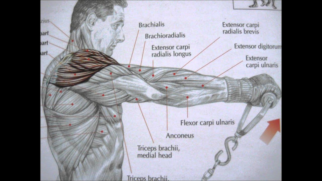 Delaviers Core Training Anatomy Pdf