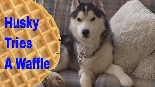 Husky Tries A Waffle for the First Time